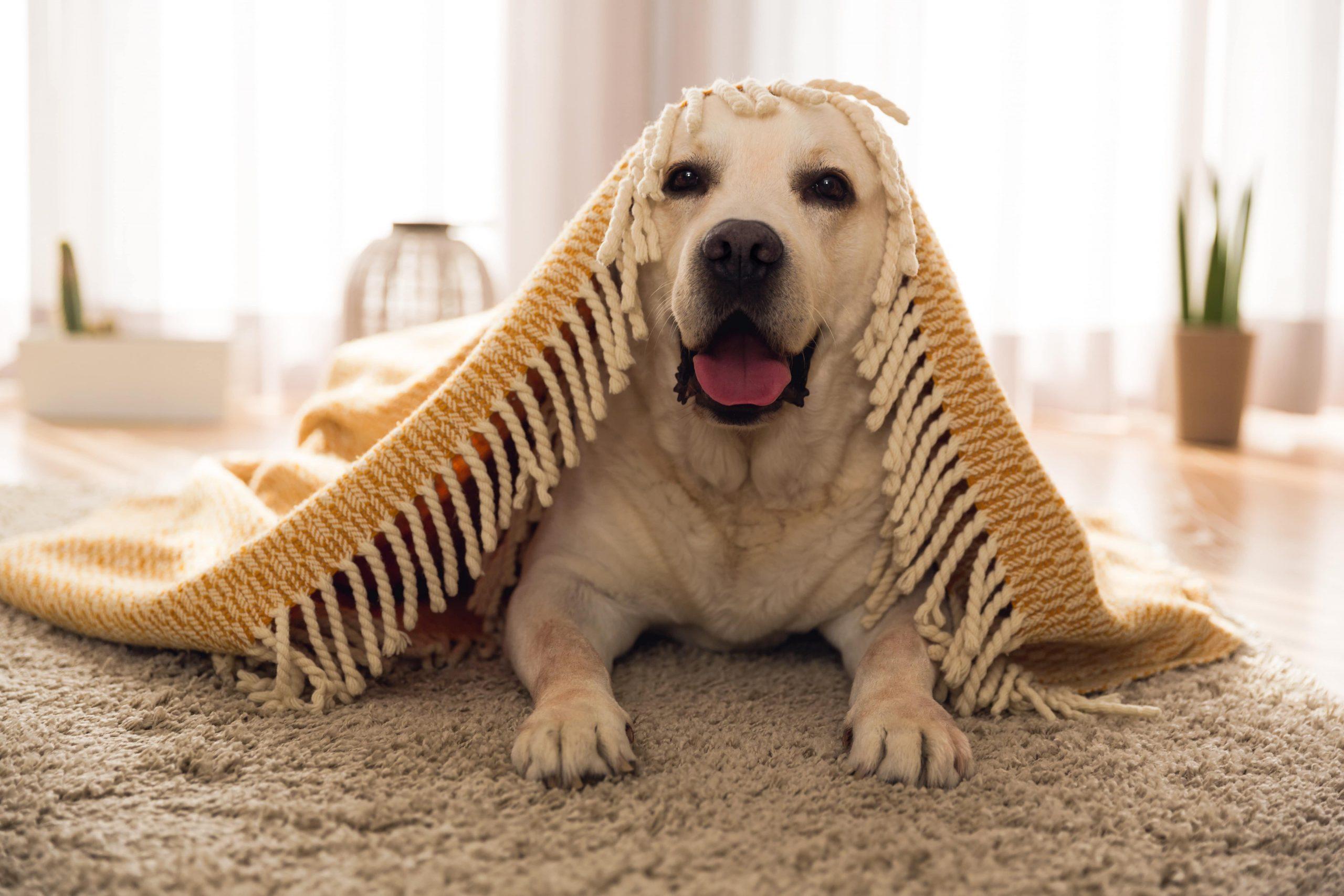 image of big dog under blanket in apartment